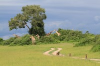 Southern Giraffe with Chacma baboon on the road | Giraffa giraffa, Papio ursinus, National Park Chobe