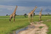 Southern Giraffe | Giraffa giraffa, National Park Chobe
