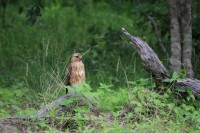 Common Buzzard | Buteo buteo, Chobe N.P., migrant population in winter