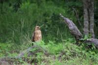 Common Buzzard | Buteo buteo, Chobe N.P., migrant population in winter