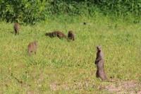 Banded Mongoose | Mungos mungo, west of Chobe N.P., near Muchenje