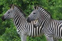 Plains Zebra | Equus burchellii, west of Chobe N.P, near Muchenje