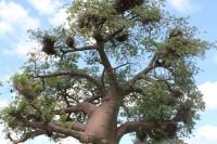 Baobab | Near Muchenje