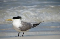 Thalasseus bergii cristata   Greater Crested Tern, Ledge Point, North West of Perth