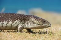 Tiliqua rugosa rugosa   Stumpy Tail Lizard, Ledge Point