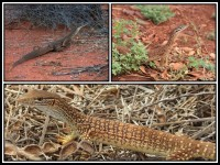Varanus gouldii | Gould's Goanna, top left Paynes find, top right east of Karijini National Park, down Shark bay - baby.