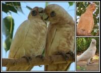 Cacatua sanguinea   Blue-eyed Cockatoo, Tom Price