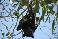 Black Flying Fox   Pteropus alecto in the trees, Karijini National Park
