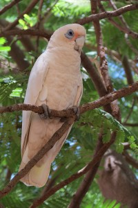 Cacatua sanguinea | Blue-eyed Cockatoo, Tom Price