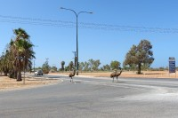 Emu on the street   Dromaius novaehollandiaein, in the midle of the Exmouth town