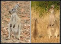 Macropus fuliginosus | Western Grey Kangaroos