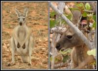 Macropus fuliginosus   Western Grey Kangaroos