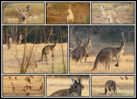 Herds of kangaroos   Western Grey and Red Kangaroos, Macropus fuliginosus and rufus (M. rufus - 3 pictures below and 2 pictures in the middle) (M. fuliginosus - 3 pictures above)