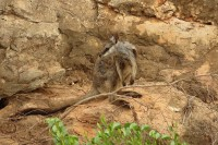 Wallaby cangaro, Petrogale lateralis | Black-footed Rock Wallaby, Yardie Creek, Cape Range National Park