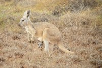 Kangaroo with baby | Western Grey Kangaroos, Cape Range National Park