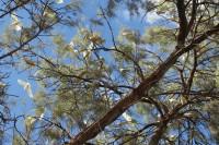 Cacatua sanguinea   Blue-eyed Cockatoo, south of Coral Bay