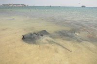 Stingrays   They sense electrical currents produced by their prey´s muscles and nerves