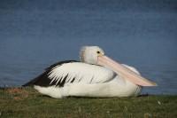 Pelecanus conspicillatus | Resting Australian pelican, Walpole