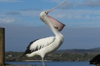 Australian pelican   Pelecanus conspicillatus, Yawning Pelican, Walpole