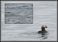 Tufted puffin | Fratercula cirrhata, Gulf of Avachinskii
