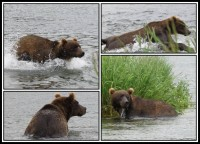 Kamchatka brown bear | Salamon is aproaching - bear is ready to jump ... JUMP!