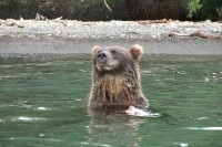 Kamchatka brown bear | Observation bears on the Kurile Lake