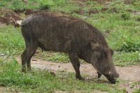 Common Warthog | Phacochoerus africanus, west of Chobe N.P.