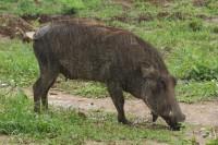 Common Warthog | Phacochoerus africanus, west of Chobe N.P.