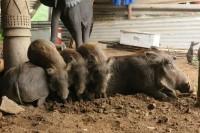 Common Warthog | Phacochoerus africanus, area around Victoria falls