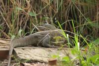 Nile Monitor | Varanus niloticus, Kwando River, Kasane