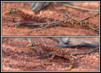 Lucasium squarrosum   Mottled Ground Gecko, Paynes Find, previously named as Diplodactylus squarrosus