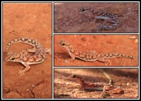 Rhynchoedura ornata | Western Beaked Gecko, left: Mimilya, right: top Paynes Find, in the midle and botom Karijini N.P.