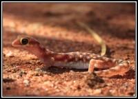 Rhynchoedura ornata | Western Beaked Gecko, Karijini N.P.