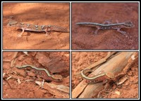 Diplodactylus pulcher | Fine-faced Gecko, botom and top right Sandstone, top left Karijini N.P.