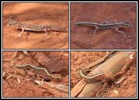 Diplodactylus pulcher   Fine-faced Gecko, botom and top right Sandstone, top left Karijini N.P.