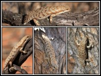 Egernia depressa   Southern Pygmy Spiny-tailed Skink, Paynes Find