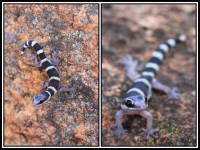 Oedura marmorata   Marbled Velvet Gecko, juvenile, near Daigaranga