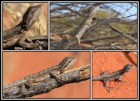 Pogona minor | Dwarf Bearded Dragon, above near Daigaranga, down near Mimilya