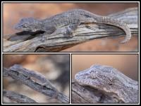 Strophurus strophurus   Western Spiny-tailed Gecko, top near Daigaranga, down boath near Billabong