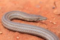 Lialis burtonis | Burton's Legless Lizard, near Mimilya