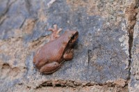 Litoria rubella | Brown Tree Frog, Kalgan Pool