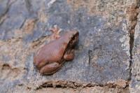 Litoria rubella   Brown Tree Frog, Kalgan Pool