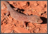 Lucasium wombeyi   Pilbara Ground Gecko, west of Karijini N.P.