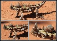 Moloch horridus   Thorny Devil, Shark Bay