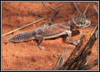 Nephrurus levis | Smooth Knob-tailed Gecko, near Billabong