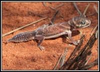 Nephrurus levis   Smooth Knob-tailed Gecko, near Billabong
