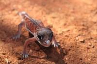 Nephrurus vertebralis   Midline Knob-tail, Paynes Find