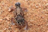 Nephrurus levis   Smooth Knob-tailed Gecko, east of Karijini N.P.