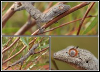 Strophurus ciliaris   Northern Spiny-tailed Gecko, Sandfire