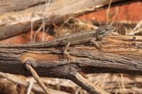 Pogona minor   Dwarf Bearded Dragon, near Mimilya